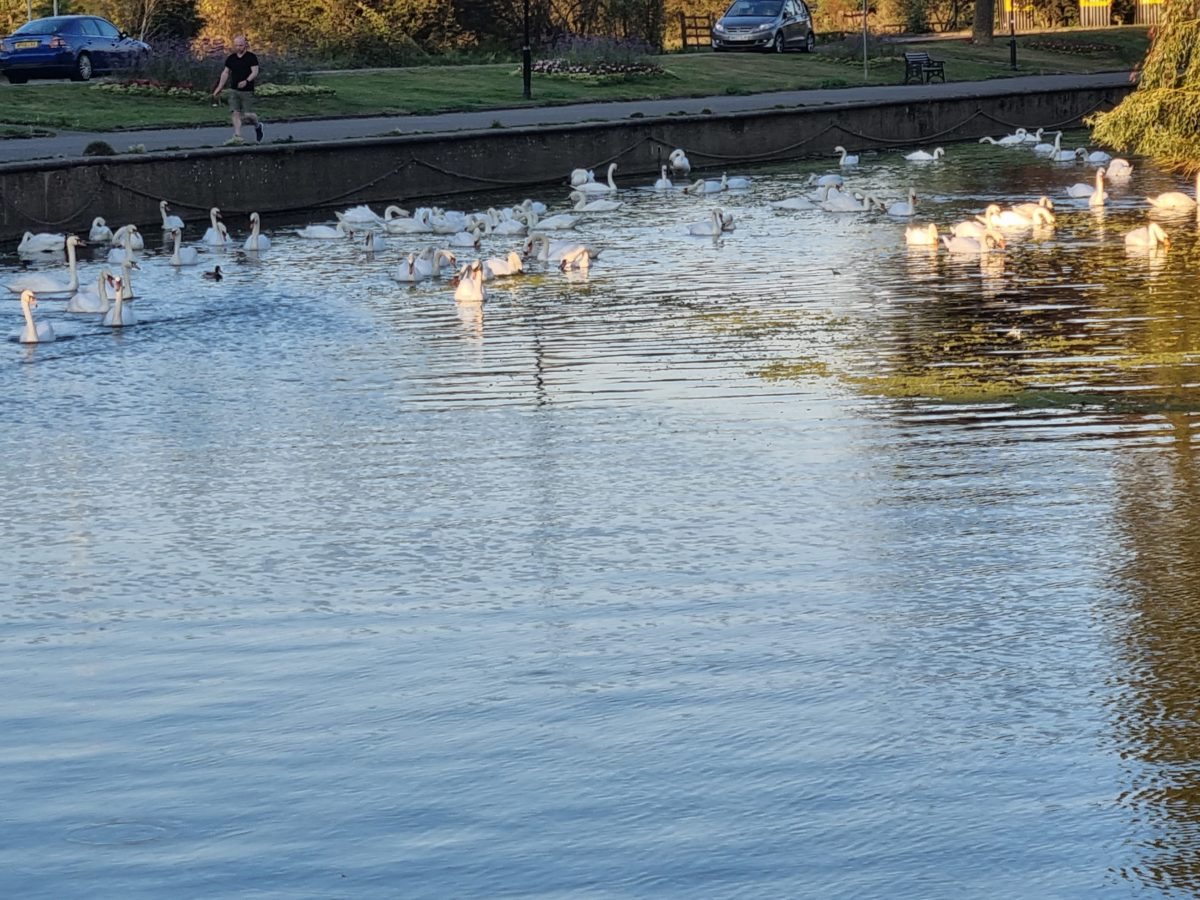 Lots Of Swans On The Embankment